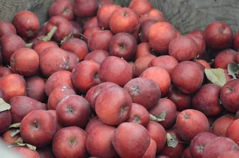 apple orchard 18