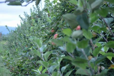 apple orchard 21