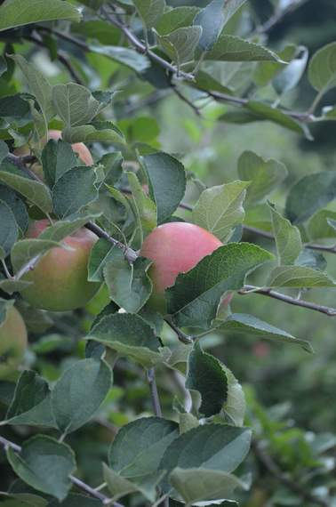 apple orchard 22
