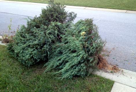 ripping out the garden evergreens